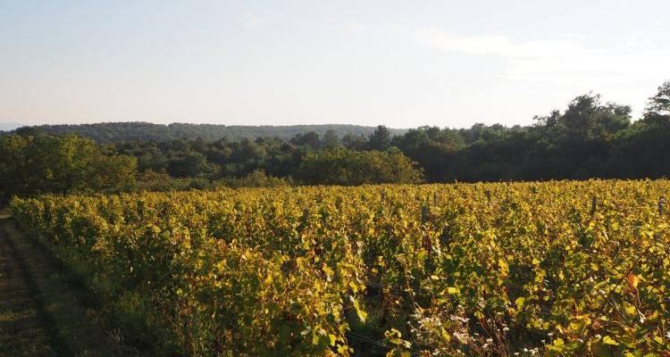 Weinbau in Požega