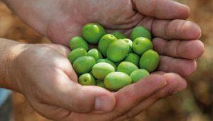 Olivenöl aus Istrien: Die Qualität der Früchte ist ausschlaggebend für die Qualität des Öls.