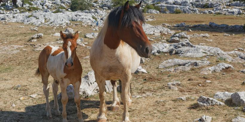 Biokovo Pferde