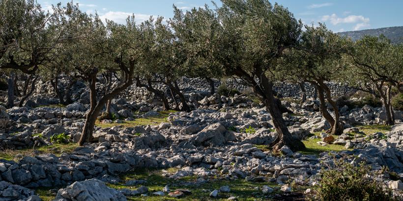 Der Turm von Cres – das Relikt einer Olivenbäume