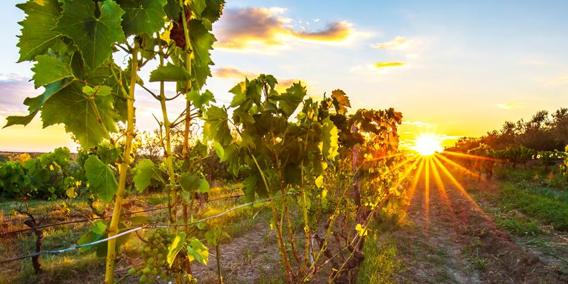 Barockschloss Belaj Weinreben Istrien