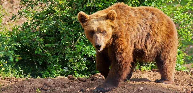 Braunbären in Gorski Kotar erleben