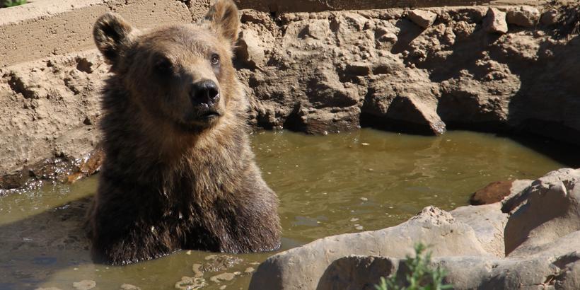 Braunbären in Gorski Kotar erleben badender bär