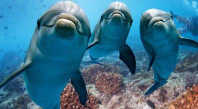 Delfine der Insel Lošinj