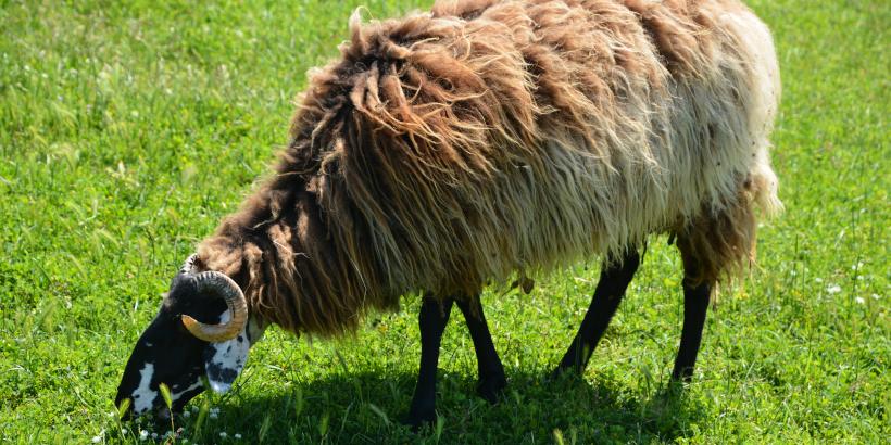 Mufflon-Schaf der Adria auf Mali Brijun