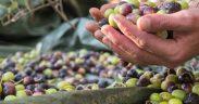 Olivenöl probieren in Vodnjan