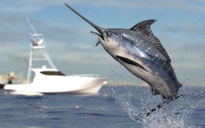 Schwertfisch beim Sprung aus dem Wasser vor Boot - Fischarten in Kroatien - Mindestmaße & Fangmethoden
