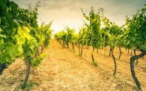 Weingüter Istriens