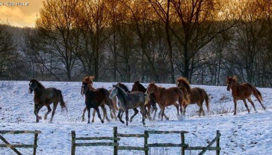 Frei galoppierende Herde von Pferden des Konjički Klub Husar im winterlichen Abendrot
