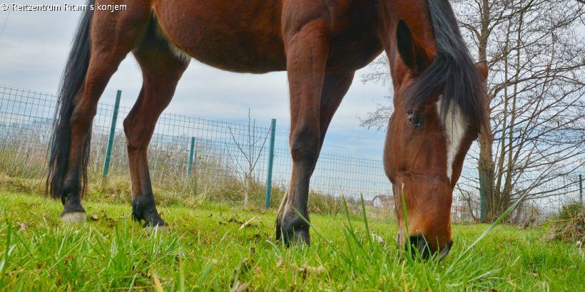 Haflinger-Stute Beba vom Reitzentrum Ritam s konjem beim Grasen