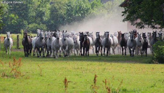 Herde ungestümer Lipizzaner Pferde auf dem Gestüt Đakovo