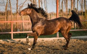 Pferd Chico beim Trab im Abendrot auf der Koppel des Konjički klub Dunavski raj