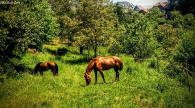 Zwei Pferde in hoher Wiese vom Konjički klub Zorro - Reitclub in Žumberak