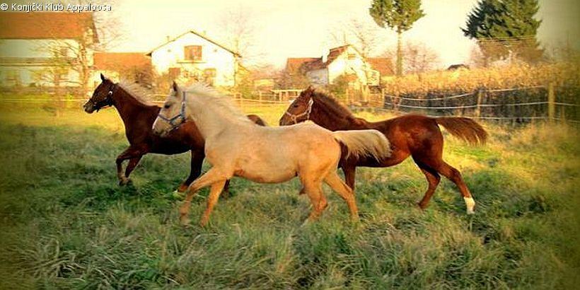 drei Pferde auf der Koppel des Konjički Klub Appaloosa in Zagreb