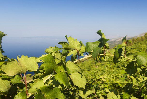 Weinverkostung auf Pelješac